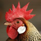chicken_Flickr_hddod